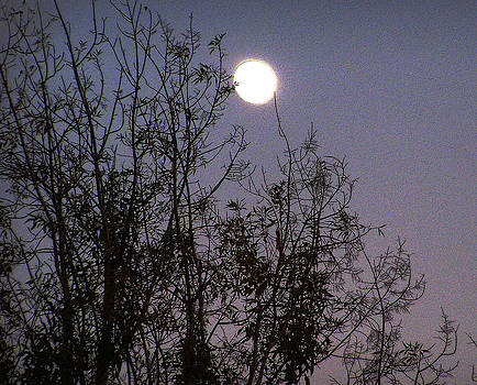 Moon in the branches by Sally Stevens