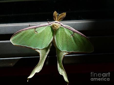 Christine Stack - Moon Moth
