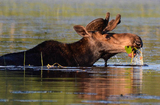 Moose 1 by Marshall Bannister