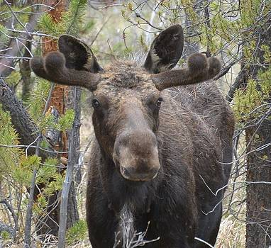 Moose #2 by Patricia Feind