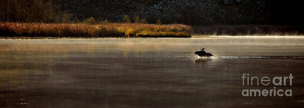 Moose on Blue Lake by Sam Rosen