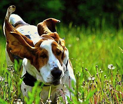 Marysue Ryan - Basset Hound running  2