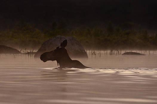 Moose Swim by Brent L Ander