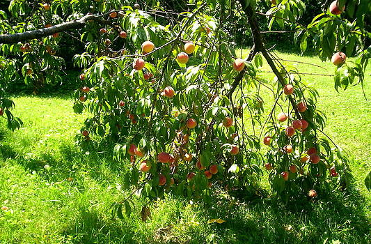 More Peaches by Emily Lambert