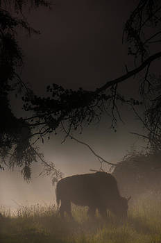 Morning Bison by Tom Wenger