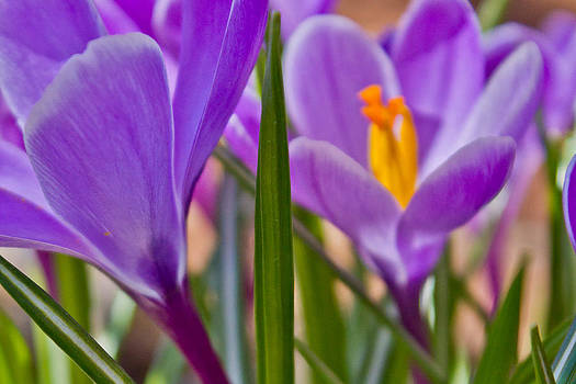 Morning Bloom of Crocus by Kathy Nairn