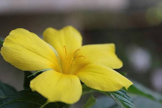 Morning Bloom Yellow Flower by Subesh Gupta