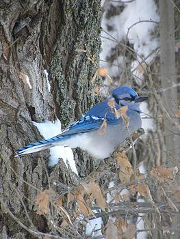 Peggy  McDonald - Morning Break Bluejay