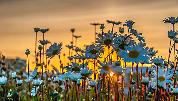 Morning Daisy by Stephen Smith