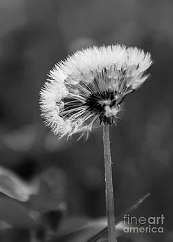 Morning Dandelion by CJ Benson