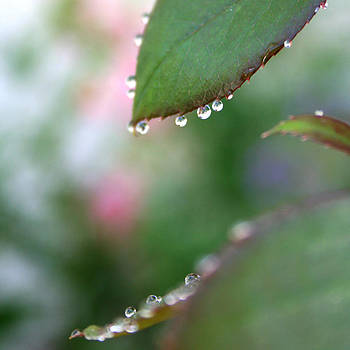 Morning Dew 3 by Bamalam  Photography