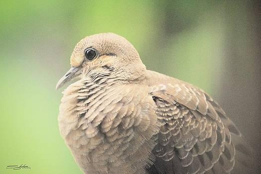 Morning Dove by Shehan Wicks