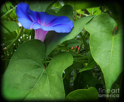 Morning Glory Nestled in Leaves by Eva Thomas