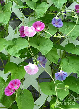 Linda Rae Cuthbertson - Morning Glory Traveling Vine