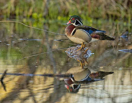 Morning Wood Duck by Donna Caplinger