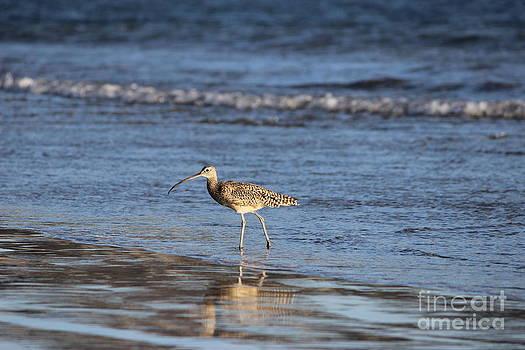 Morro Bay Sandpiper by Erik Barker