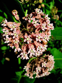 Gilbert Photography And Art - Mosquito Milkweed
