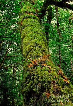 Moss Covered Tree  Hoh Rainforest WA by Tony Gliatta