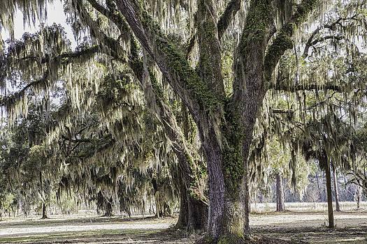 Bonnie Davidson - Moss on Oaks