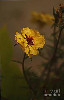 Moss Rose by Anne Pendred