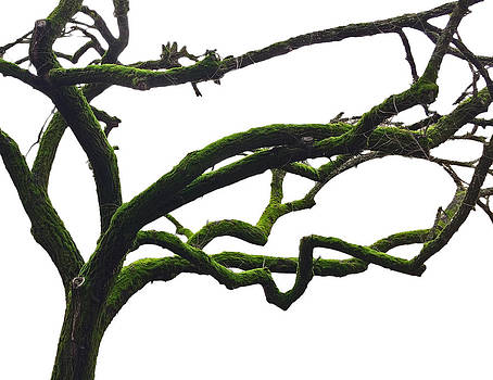 Mossy Tree on White by Richard Hinds