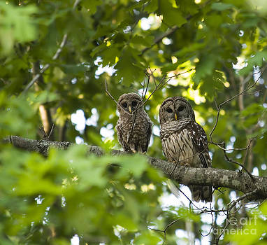 Jill Lang - Mother and Baby Barred Owl