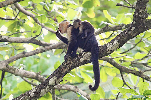 Peggy Collins - Mother and Baby Capuchin Monkeys