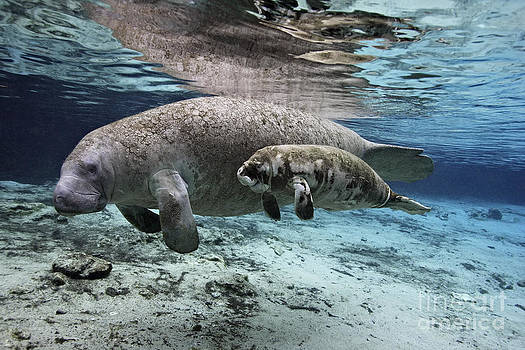 mother and baby Florida Manatees together in Florida spring by Brandon Cole