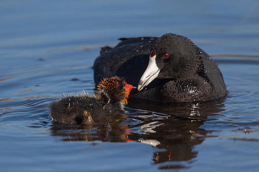 Mother Coot Feeding Her Chick by Don Baccus