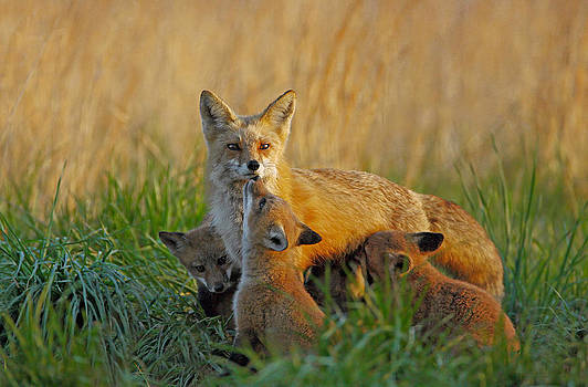 Mother Fox and Kits by William Jobes