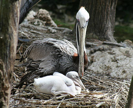 Mother Pelican and her baby by Lynn Jackson
