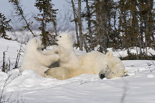 Mother polar bear sleeps while her cubs play by Richard Berry