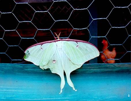Chicken Mothology by Ecinja Art Works