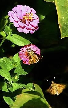 Moths on Zinnia by Larry Bodinson