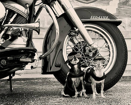 Motorcycle Dogs Cycle Chihuahuas by Rebecca Brittain