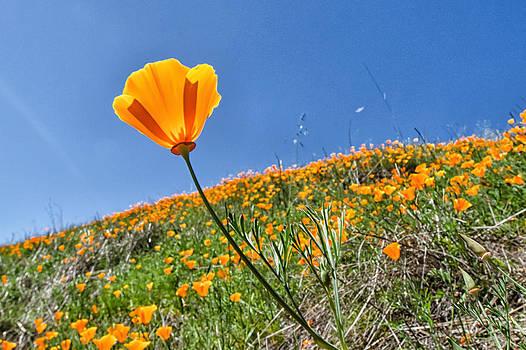 Mount Diablo Poppy Field by Robert Rus