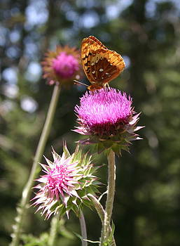 Mountain Thistles and Butterfly by L J Penrod