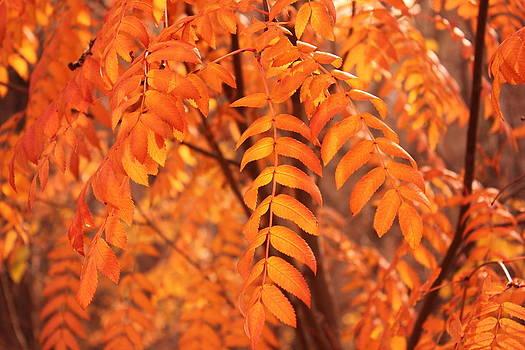 Mountain Ash Leaves - Autumn by Jim Sauchyn
