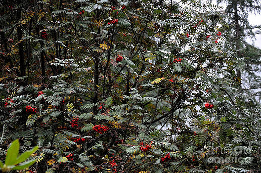 Mountain Ash Tree In The Foggy Morning by Tanya  Searcy