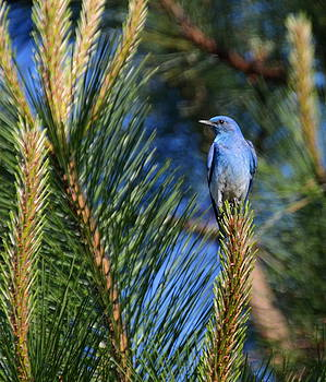 Mountain Blue by Annie Pflueger