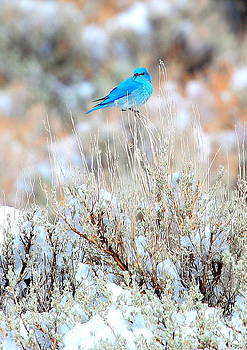 Mountain Blue Bird by Floyd Tillery