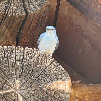 Mountain Bluebird by Karen Mary Castranova