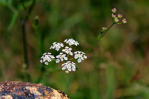 Mountain Flower by Carolyn Ricks