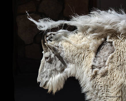 Mountain Goat Bad Hair Day by Stephen  Johnson