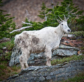 Mountain Goat by Craig Brown