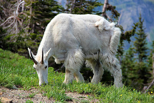 Mountain Goat by George Ferreira