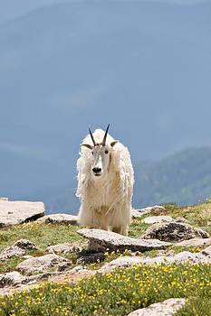 Mountain Goat Portrait by Jaci Harmsen