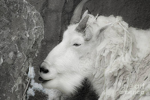Mountain Goat by Rich Collins