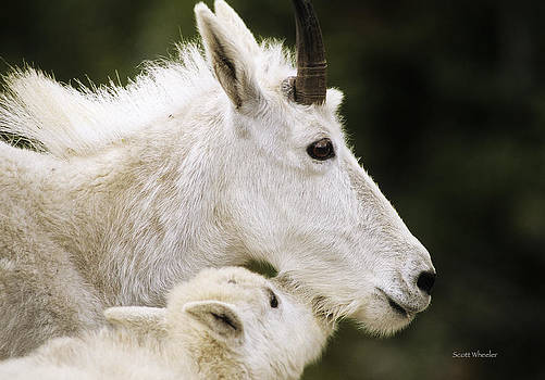 Scott Wheeler - Mountain Goat