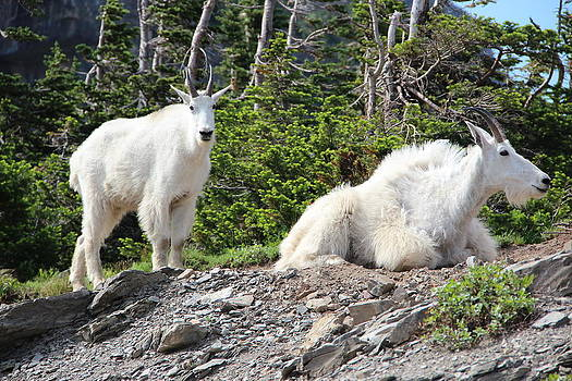 Mountain Goats by George Ferreira